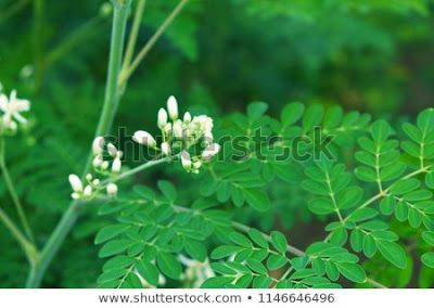 Most Of Us Know About Drumstick Leaves Benefits But Drumstick Flower Also Have Amazing Health Benefits Th Drumstick Leaves Benefits Flower Tea Herbs