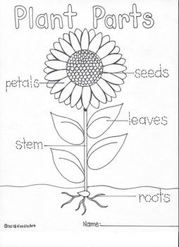 Students Will Enjoy Learning About The Cycle Of The Sunflower With These Fun Hand Drawn Activities F Parts Of A Flower Kindergarden Activities Plant Life Cycle