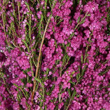 Sunset Heather Hot Pink Flower Fiftyflowers Com In 2020 Hot Pink Flowers Heather Flower Pink Flowers