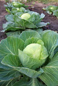 growing cabbage for canning sauerkraut, or stewed cabbage,or for making cole slaw. We would put them in what we called a potato hole and they would keep during winter