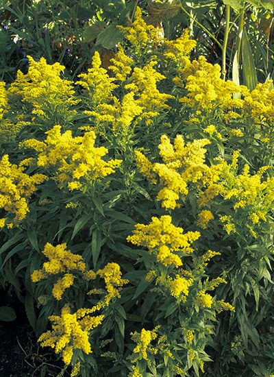 The Best Goldenrods For Your Garden With Images Garden Pictures Prairie Planting Goldenrod Flower