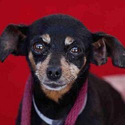 Downey California Miniature Pinscher Chihuahua Mix Meet Shadow
