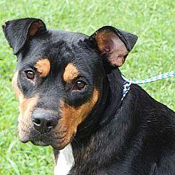 Williamsport Maryland Rottweiler Meet Stella A For Adoption