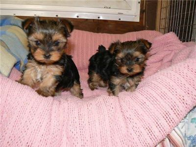 Male And Female Yorkie Puppies For Free