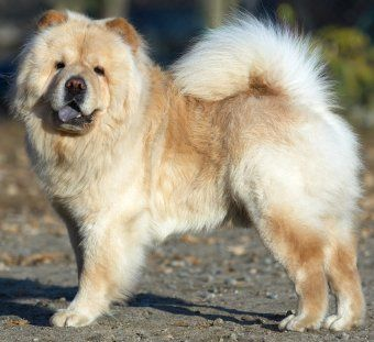 Chow Chows What S Good About Em What S Bad About Em Chow Chow Chow