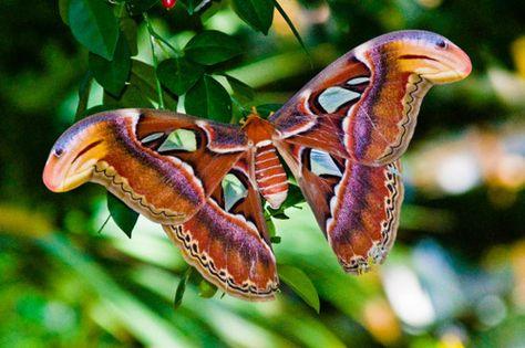 Atlas Moth Mit Bildern Motte Schmetterling