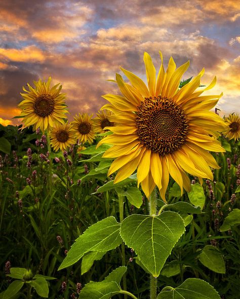 Clouds Poster featuring the photograph Sunflower Dusk by Debra and Dave Vanderlaan