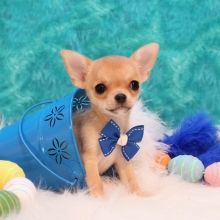 Chihuahua Puppies For Sale Puppyspot Em 2020