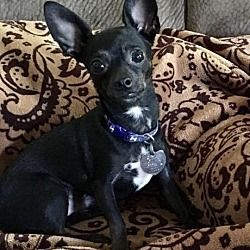 Sanford North Carolina Chihuahua Meet Onyx A For Adoption