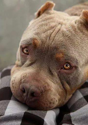 Pin By John Irwin On American Bullies Beautiful Dogs