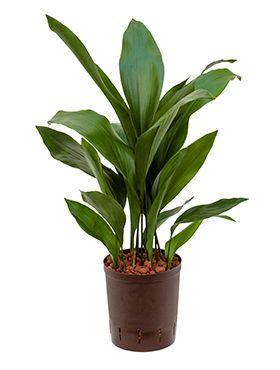Schusterpalme Brauch Wenig Licht Vertragt Unterschiedliche Temperaturen Crocus Plants Plants Low Lights