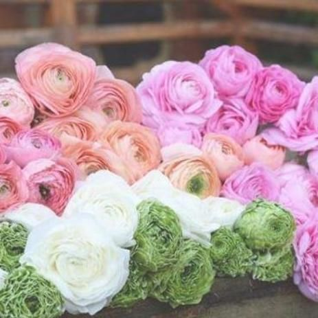 We Are Excited To Offer This Beautiful Assortment Of Italian Ranunculus This Collection Will Produce A Stunning Show Of Wh Easy To Grow Bulbs Ranunculus Bloom