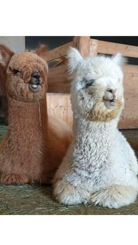 A cute pair of Alpacas