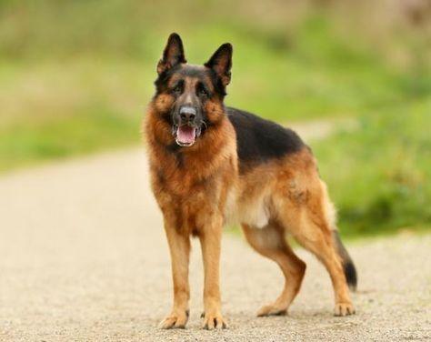 300 Nombres Para Perros Pastor Alemán Machos Y Hembras German Shepherd Dogs Shepherd Dog German Shepherd Puppies