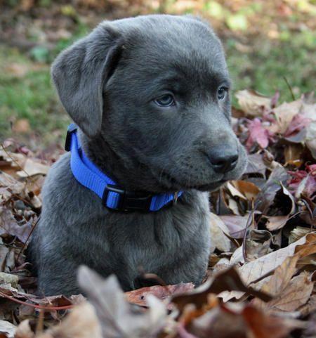 Bridger The Labrador Retriever Labrador Retriever Susseste Haustiere Und Hunderassen