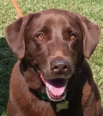 Adopt Kona 4 On Adoption Lap Dogs Labrador Retriever Dog