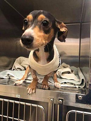 New York Ny Dachshund Meet Rocket Sc A Dog For Adoption Dog Adoption Dogs Dachshund Adoption