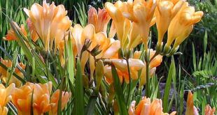 Growing And Planting Freesia Flower With Images Freesia Flowers Plants Garden Bulbs