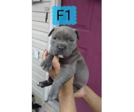 4 Pitbull Puppies Are Eady To Go In 2020 Pitbulls Puppies Pitbull Puppies For Sale