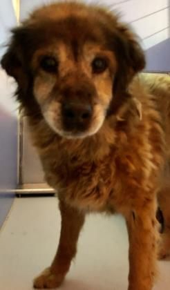 Animal Id 38038488 Species Dog Breed Chow Chow Mix Age 5 Years 1