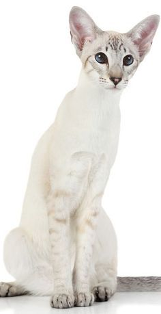 Modern Siamese Cat B Siamese Cats Blue Point Oriental Shorthair Cats Cat Breeds