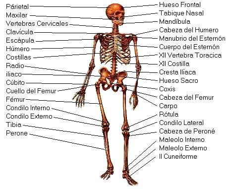 Sistema Oseo Del Cuerpo Humano Indicando Sus Partes Huesos Del Cuerpo Humano Huesos Del Cuerpo Imagenes Del Esqueleto Humano