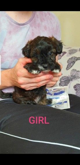 Toy Poodle Cross Breed Puppies Pra Clear Doncaster South