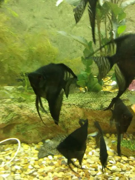 Pin On Angelfish Cichlids