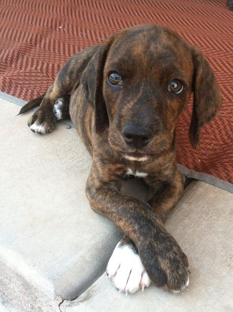 Baby Plott Hound. Hank does this with his paws all the time.