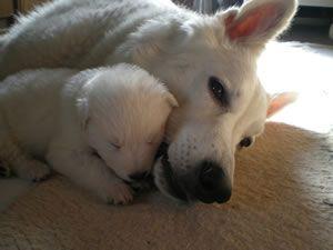 Kontakt Weisse Schaferhunde Aus Niedernsill Zwinger Of White Valley Hunde Fotos Weisser Schaferhund Hundefotos