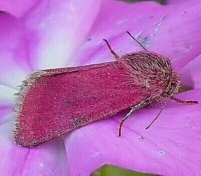 Phlox Moth Schinia Indiana 1 5 1 8 Cm North America