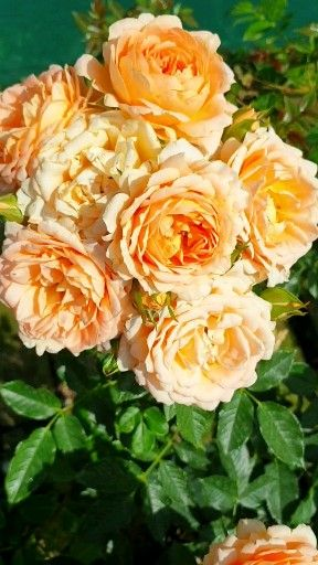 Apricot Rose in Cottage Garden
