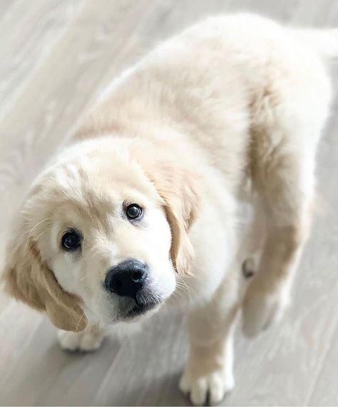 Chien Cute Puppy Chiot Golden Retriever Mignon Golden Chiot