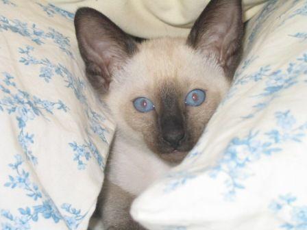 Siamese Cat Breeder Suyaki Siamese Cattery A Breeder Of