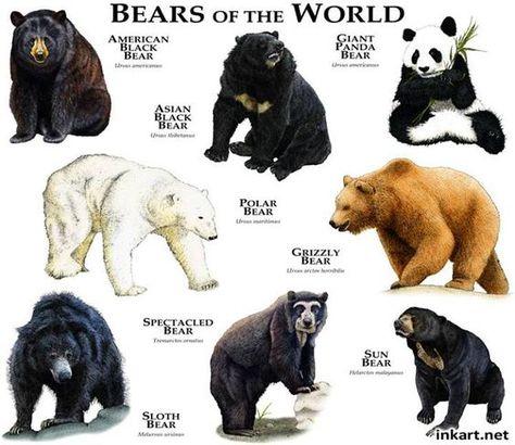 Bears of the world - www.anatomynote.com