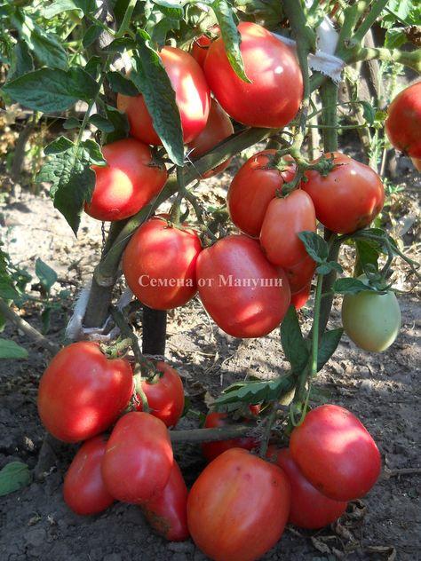 семена томатов домашний помидор