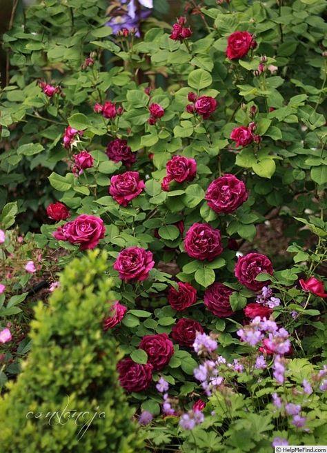 'Souvenir du Docteur Jamain ' Rose Photo