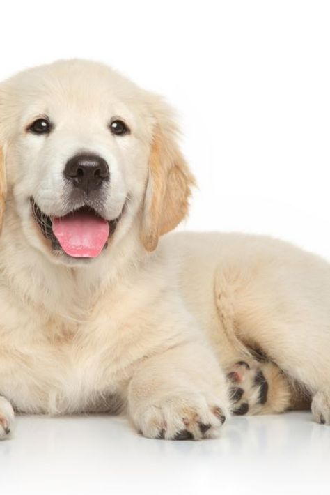 Golden Retriever Puppy 3 Months Old Lying On White Background Goldenretriever Golden Retriever White Golden Retriever Puppy Retriever Puppy