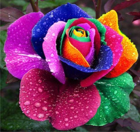 41 Ideas De Rosas Arcoíris Rosa Arcoiris Rosas Flores