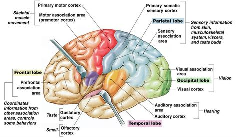 Primary motor cortex cns brain pinterest motor cortex ccuart Image collections