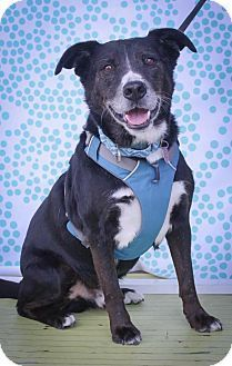 Border Collie Mix Dog For Adoption In Houston Texas Ace Pets