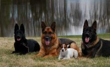 Minnesota K 9 Solutions Adult Dogs For Salenational Gold