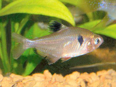 Serpae Tetra Hyphessobrycon Eques Red Minor Tetra Jewel Tetra Callistus Tetra Tetra Fish Pet Tropical Fish