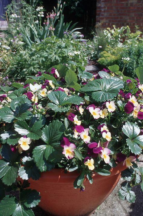 Strawberry Pot With Violas By Judywhite Gardenphotos Com