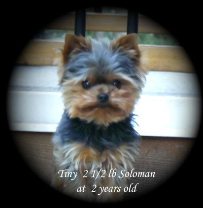 Yorkshire Terrier Puppies For Sale Breeder Bc Canada Yorkshire Terrier Puppies Yorkshire Terrier Puppy Yorkie Yorkshire Terrier