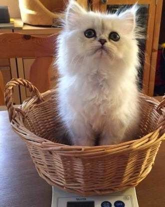 Persian Chinchilla Kittens For Rehoming Kitten Adoption