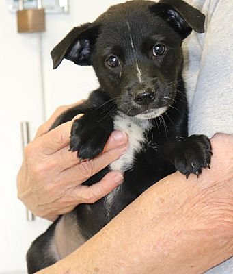 Chicago Il Flat Coated Retriever Meet Little Roadie A Pet For Adoption Pet Adoption Adoption Dog Adoption