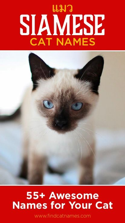 Siamese Cat Names 55 Awesome Names For Your Cat Cat Names Girl Cat Names Siamese Cats