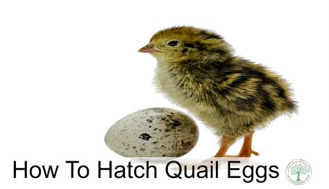 Image of: Piranga Rubra Learn Some Tips On How To Hatch Eggs Successfully The Homesteading Hippy How To Hatch Quail Eggs Livestock Pinterest