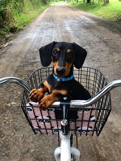 10 Adorable Ways Your Dachshund Puppies Express Love For You How do you show your love to your dachshunds? Taking a walk in the park, belly stroking or just a tight hug. Therefore, have you #Retriever #dog #puppy